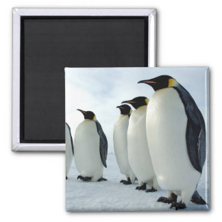 Lined up Emperor Penguins Square Magnet