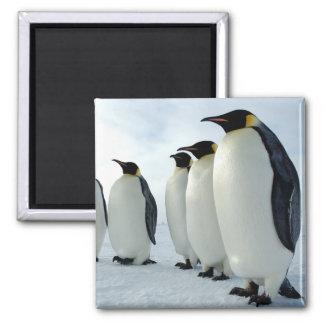 Lined up Emperor Penguins Square Magnet