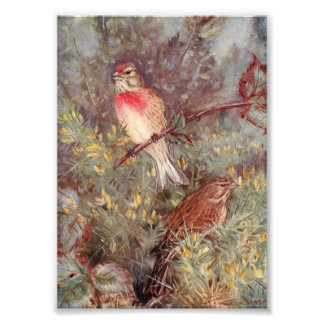 Linnent Birds Vintage Illustration Photo Print