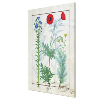 Linum, Garden poppies and Abrotanum Canvas Print