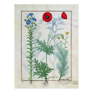 Linum, Garden poppies and Abrotanum Postcard