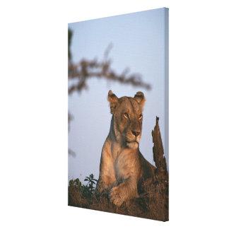 Lion 13 stretched canvas print