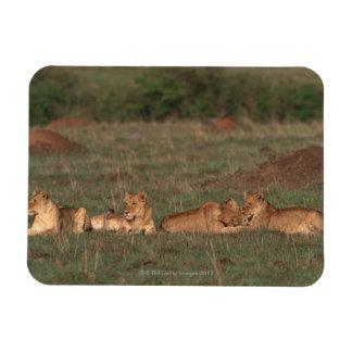 Lion 4 rectangular photo magnet