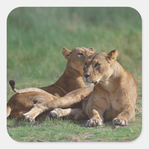 Lion 5 square sticker