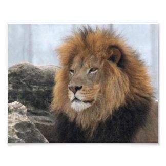 Lion 6880 photographic print