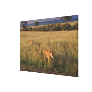 Lion 6 stretched canvas print