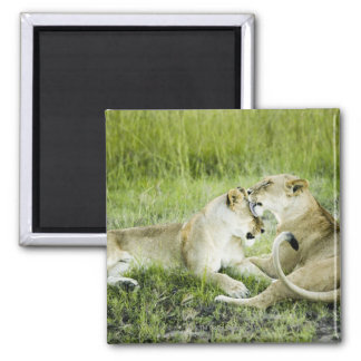 Lion and lioness, Africa 2 Square Magnet