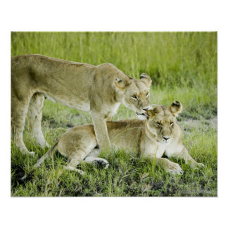 Lion and lioness, Africa Poster