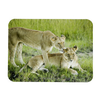 Lion and lioness, Africa Rectangular Photo Magnet
