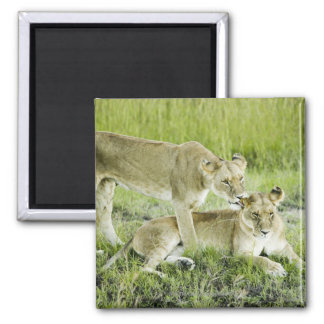 Lion and lioness, Africa Square Magnet
