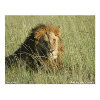 Lion at Rest Postcard