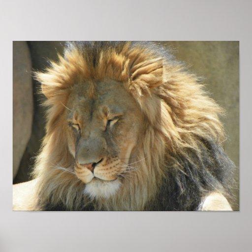lion at sleep poster