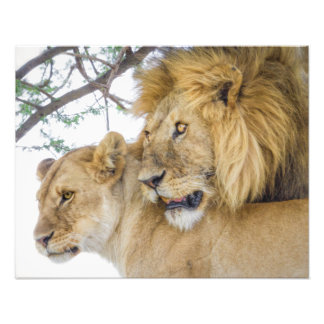 Lion Couple Photo Print
