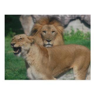Lion Couple Postcard