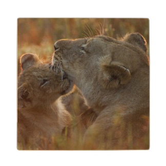 Lion cub aged about 12 months playing wood coaster