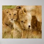 Lion Cub & Mother Poster