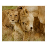 Lion Cub & Mother Posters