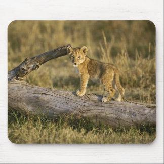 Lion cub on log, Panthera leo, Masai Mara, Kenya Mouse Mat