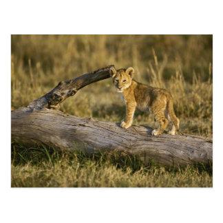 Lion cub on log, Panthera leo, Masai Mara, Kenya Postcard