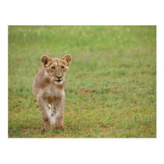 lion cub, Panthera leo, Kgalagadi Transfrontier Postcard