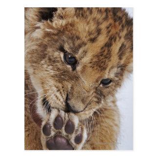 Lion cub (Panthera leo) licking paw, close-up Postcard
