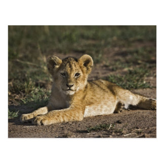Lion cub, Panthera leo, lying in tire tracks, Postcard