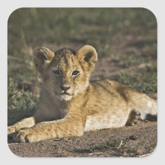Lion cub, Panthera leo, lying in tire tracks, Square Sticker