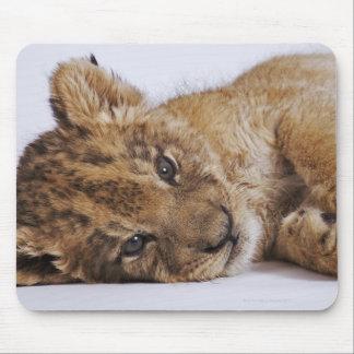 Lion cub (Panthera leo) lying on side, close-up Mouse Mat