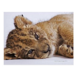 Lion cub (Panthera leo) lying on side, close-up Postcard