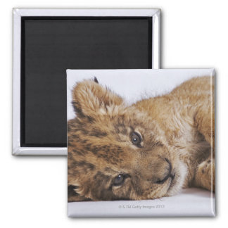 Lion cub (Panthera leo) lying on side, close-up Square Magnet
