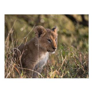 Lion cub (Panthera leo), Masai Mara National Postcard