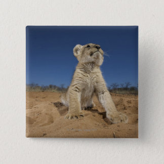 Lion Cub (Panthera Leo) sitting on sand, Namibia 15 Cm Square Badge