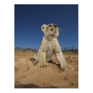 Lion Cub (Panthera Leo) sitting on sand, Namibia Postcard