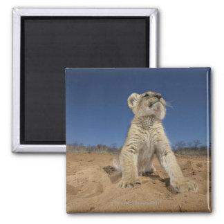 Lion Cub (Panthera Leo) sitting on sand, Namibia Square Magnet