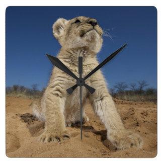 Lion Cub (Panthera Leo) sitting on sand, Namibia Square Wall Clock