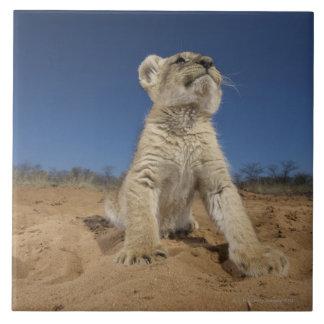 Lion Cub (Panthera Leo) sitting on sand, Namibia Tile