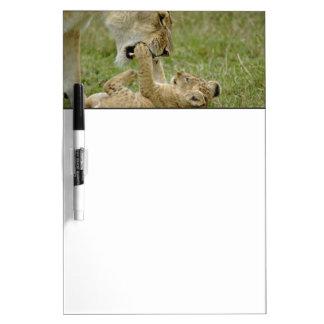 Lion cub playing with female lion, Masai Mara Dry Erase Board