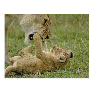 Lion cub playing with female lion, Masai Mara Postcard