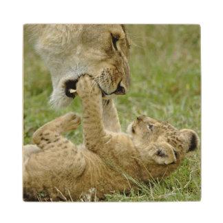 Lion cub playing with female lion, Masai Mara Wood Coaster