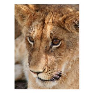 Lion Cub Postcard