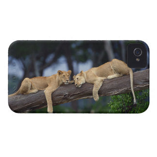 Lion cubs lying on tree branch , Kenya , Africa iPhone 4 Case-Mate Cases