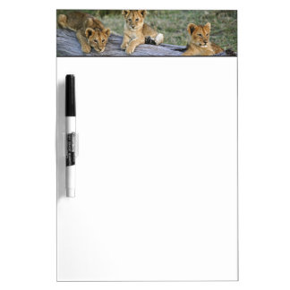 Lion cubs on log, Panthera leo, Masai Mara, 2 Dry Erase Board
