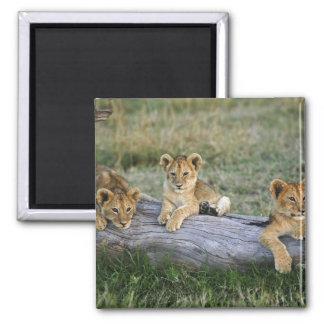 Lion cubs on log, Panthera leo, Masai Mara, 2 Magnet