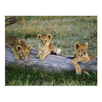 Lion cubs on log, Panthera leo, Masai Mara, 2 Postcard