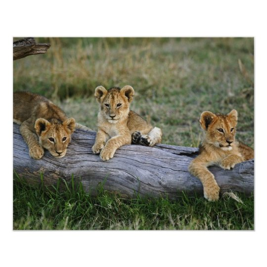 Lion cubs on log, Panthera leo, Masai Mara,