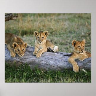 Lion cubs on log Panthera leo Masai Mara 2 Posters