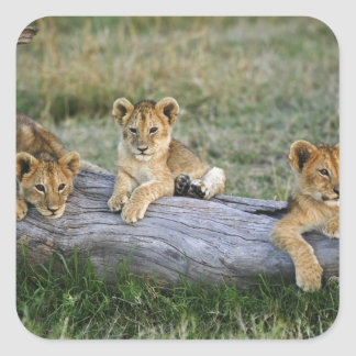 Lion cubs on log, Panthera leo, Masai Mara, 2 Square Sticker