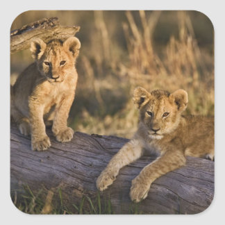 Lion cubs on log, Panthera leo, Masai Mara, 3 Square Sticker