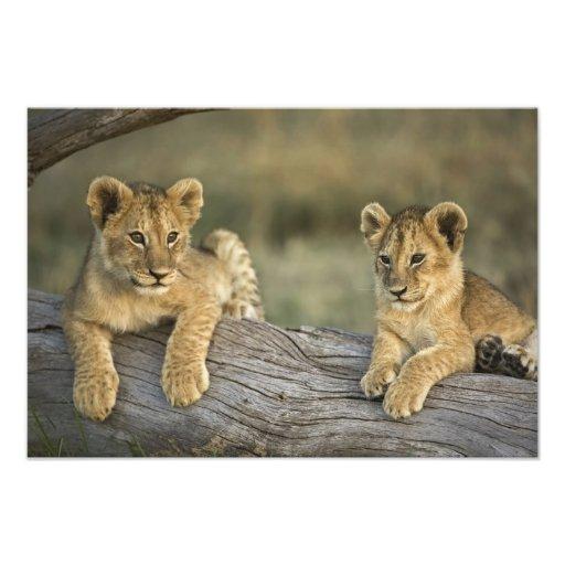 Lion cubs on log, Panthera leo, Masai Mara, Photographic Print