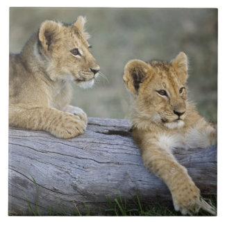 Lion cubs on log, Panthera leo, Masai Mara, Tile